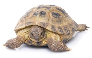 Horsfield's tortoise